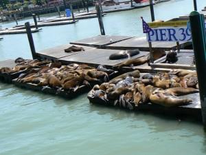 De zeeleeuwen op pier 39